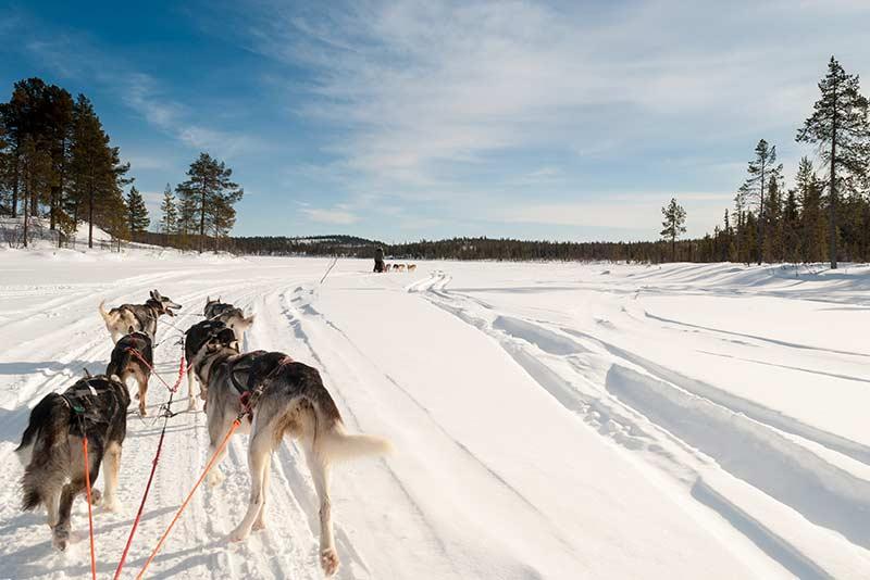 Schlittenhunde in Schweden im Schnee